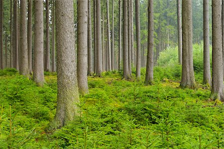 Spruce Forest, Odenwald, Hesse, Germany Stock Photo - Premium Royalty-Free, Code: 600-06334263