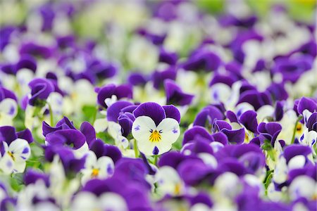 spring background - Viola Flowers, Bavaria, Germany Stock Photo - Premium Royalty-Free, Code: 600-06334475