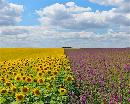 Sunflower and Mallow Field, Arnstein, Main-Spessart, Franconia, Bavaria, Germany Stock Photo - Premium Royalty-Free, Code: 600-06334496