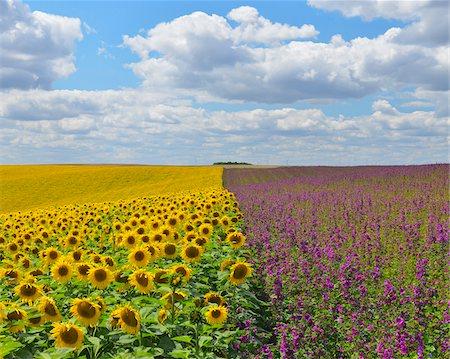 Sunflower and Mallow Field, Arnstein, Main-Spessart, Franconia, Bavaria, Germany Stock Photo - Premium Royalty-Free, Code: 600-06334496
