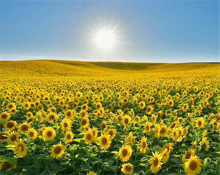 summer - Sunflower Field, Arnstein, Main-Spessart, Franconia, Bavaria, Germany Stock Photo - Premium Royalty-Free, Code: 600-06334501