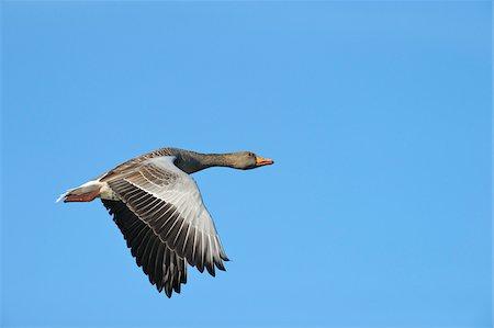 Greylag Goose, Hesse, Germany Stock Photo - Premium Royalty-Free, Code: 600-06383749
