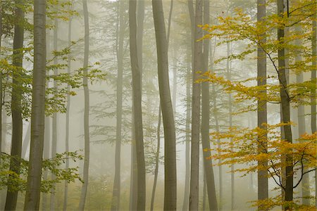 fog (weather) - Beech Forest in Morning Mist in Autumn, Spessart, Bavaria, Germany Stock Photo - Premium Royalty-Free, Code: 600-06397428