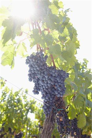 Grape Vine at Vineyard, Saint Emilion, Bordeaux Region, Gironde, Aquitaine, France Stock Photo - Premium Royalty-Free, Code: 600-06407704