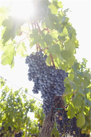 Grape Vine at Vineyard, Saint Emilion, Bordeaux Region, Gironde, Aquitaine, France Stock Photo - Premium Royalty-Free, Code: 600-06407704