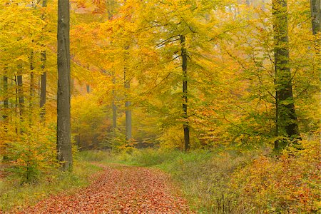 Path through Beech Forest in Autumn, Spessart, Bavaria, Germany Stock Photo - Premium Royalty-Free, Code: 600-06471303