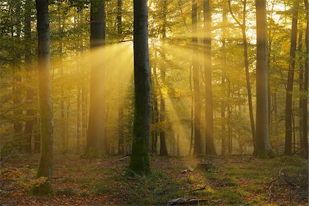 streaming - Sunbeams through Beech Trees in Autumn with Morning Mist, Spessart, Bavaria, Germany Stock Photo - Premium Royalty-Free, Code: 600-06471316