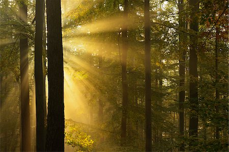 fog (weather) - Sunbeams through Beech Forest in Autumn with Morning Mist, Spessart, Bavaria, Germany Stock Photo - Premium Royalty-Free, Code: 600-06471317
