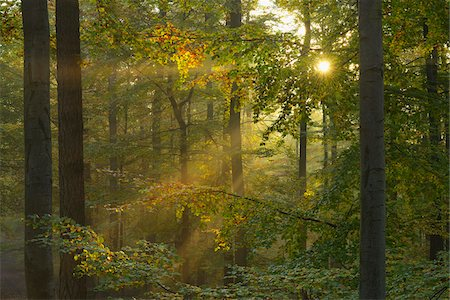 streaming - Sunbeams through Beech Forest in Autumn with Morning Mist, Spessart, Bavaria, Germany Stock Photo - Premium Royalty-Free, Code: 600-06471318