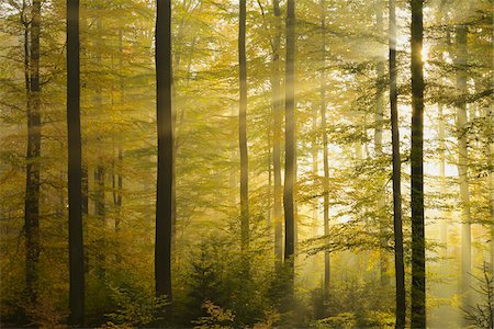 streaming - Sunbeams through Beech Forest with Morning Mist in Autumn, Spessart, Bavaria, Germany Stock Photo - Premium Royalty-Free, Code: 600-06471319