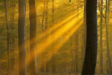 forest - Sunbeams through Beech Forest in Autumn, Spessart, Bavaria, Germany Stock Photo - Premium Royalty-Free, Code: 600-06471321