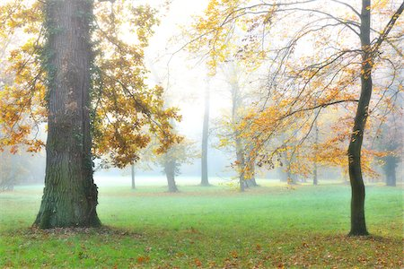 Oak Tree Trunks and Autumn Foliage in Forest Glade in Morning Haze, Bavaria, Germany Stock Photo - Premium Royalty-Free, Code: 600-06486004