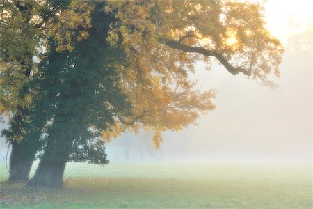 fog (weather) - Oak Tree with Autumn Foliage in Forest Glade in Morning Haze, Bavaria, Germany Stock Photo - Premium Royalty-Free, Code: 600-06486003