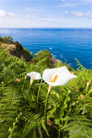 portugal - Calla (Zantedeschia aethiopica) on the Coast Above the Atlantic Ocean, Boaventura, Sao Vincente, Madeira, Portugal Stock Photo - Premium Royalty-Free, Code: 600-06486112