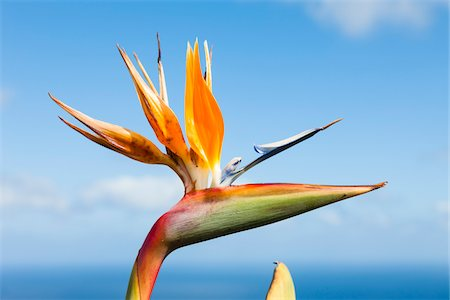 portuguese (places and things) - Bird of Paradise Flower (Strelitzia sp), Parque Natural da Madeira, Madeira, Portugal Stock Photo - Premium Royalty-Free, Code: 600-06486131