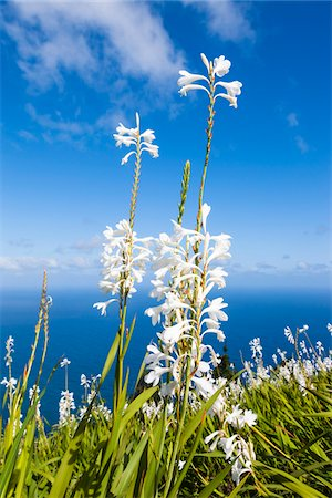 portugal - Madonna Lily (Lilium candidum) on the Coast Above the Atlantic Ocean, Arco de Sao Jorge, Santana, Madeira, Portugal Stock Photo - Premium Royalty-Free, Code: 600-06486133
