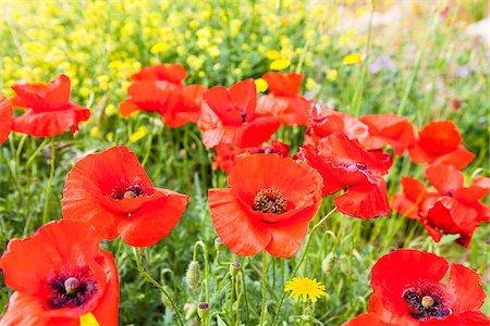 Red Poppies (Papaver Rhoeas), Costa Smeralda, Sardinia, Italy Stock Photo - Premium Royalty-Free, Code: 600-06486197