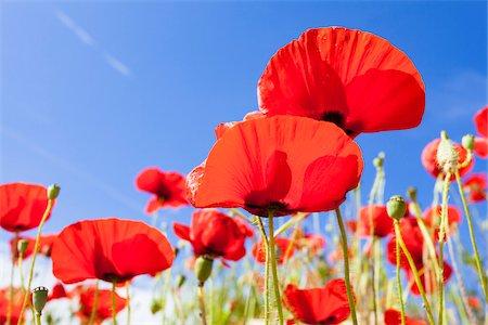 Red Poppies (Papaver Rhoeas) Against the Blue Sky, Costa Smeralda, Sardinia, Italy Stock Photo - Premium Royalty-Free, Code: 600-06486203