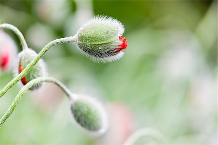 Poppy Buds (Papaver) Covered with Rain Drops are Gonna Bloom Soon, Germany Stock Photo - Premium Royalty-Free, Code: 600-06486210