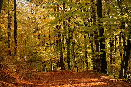 Trail through European Beech (Fagus sylvatica) Forest in Autumn, Upper Palatinate, Bavaria, Germany Stock Photo - Premium Royalty-Free, Code: 600-06486316