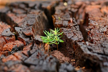 Norway Spruce (Picea abies) Seedlings Growing in Old Wood, Upper Palatinate, Bavaria, Germany Stock Photo - Premium Royalty-Free, Code: 600-06486356