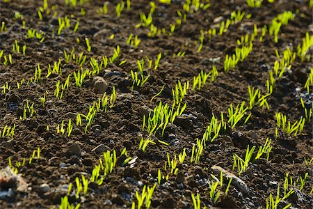 earth no people - Detail of Growing Corn Field, Bavaria, Germany Stock Photo - Premium Royalty-Free, Code: 600-06505706