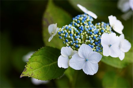 big leaf hydrangea plant with blue buds, white blooms and green foliage shot close-up in a garden, Canada Stock Photo - Premium Royalty-Free, Code: 600-06531993