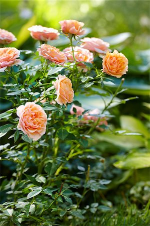 rose - miniature roses (peach) in full bloom in a Canadian outdoor garden Stock Photo - Premium Royalty-Free, Code: 600-06532010