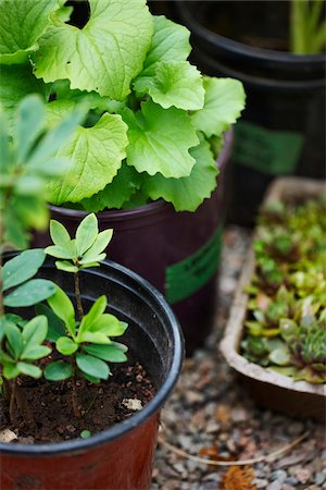 potted plant - garden plants (hen and chicks, Gaultheria procumbens, wintergreen) in plant pots as seedlings for outdoor garden, Canada Stock Photo - Premium Royalty-Free, Code: 600-06532011