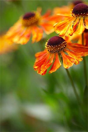 detail - orange rudbeckia (black eyed susan) flowers in bloom in a Canadian garden Stock Photo - Premium Royalty-Free, Code: 600-06532012