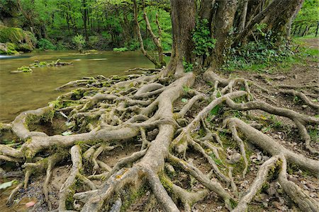 Roots of Tree by River, Jura, Franche-Comte, France Stock Photo - Premium Royalty-Free, Code: 600-06553322
