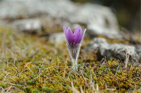 spring - Bloom of a Pulsatilla (Pulsatilla vulgaris) in the grassland in early spring of Bavaria, Germany Stock Photo - Premium Royalty-Free, Code: 600-06570994