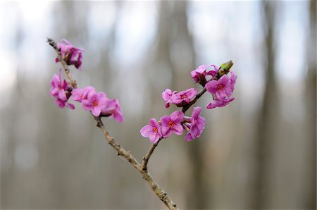 Mezereon (Daphne mezereum) blossoms in a forest in early Spring, Bavaria, Germany Stock Photo - Premium Royalty-Free, Code: 600-06571029