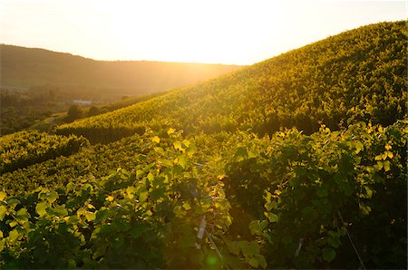 Landscape of a vineyard in in early autumn, Baden-Wuerttemberg, Germany Stock Photo - Premium Royalty-Free, Code: 600-06626848