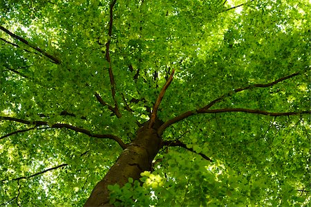 European Beech or Common Beech (Fagus sylvatica) tree in early summer, Bavaria, Germany. Stock Photo - Premium Royalty-Free, Code: 600-06620925