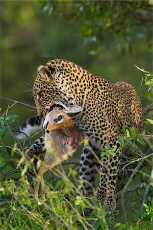 Leopard (Panthera pardus) with Dik-dik (Madoqua) Prey in Tree, Maasai Mara National Reserve, Kenya Stock Photo - Premium Royalty-Free, Code: 600-06645557