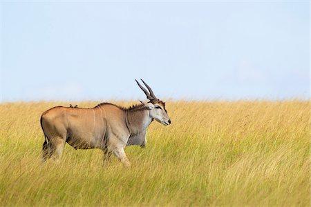 Common Eland (Taurotragus oryx) in Savannah, Maasai Mara National Reserve, Kenya Stock Photo - Premium Royalty-Free, Code: 600-06645564