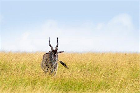 Common Eland (Taurotragus oryx) in Savannah, Maasai Mara National Reserve, Kenya Stock Photo - Premium Royalty-Free, Code: 600-06645565
