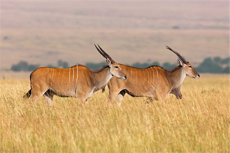Common Elands (Taurotragus oryx) in Savannah, Maasai Mara National Reserve, Kenya Stock Photo - Premium Royalty-Free, Code: 600-06645562