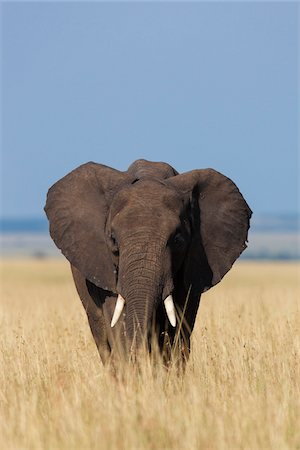 African Elephant (Loxodonta africana) in Savanna, Maasai Mara National Reserve, Kenya, Africa Stock Photo - Premium Royalty-Free, Code: 600-06669624
