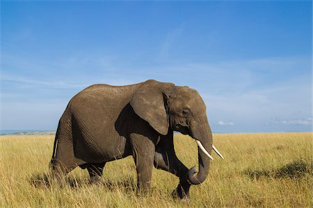 African Bush Elephant (Loxodonta africana) in Savanna, Maasai Mara National Reserve, Kenya, Africa Stock Photo - Premium Royalty-Free, Code: 600-06669625