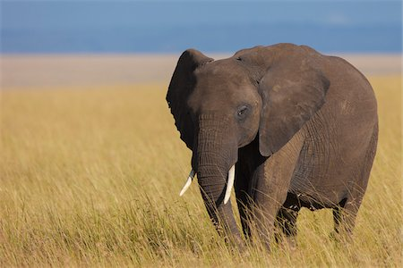 African Bush Elephant (Loxodonta africana) in Savanna, Maasai Mara National Reserve, Kenya, Africa Stock Photo - Premium Royalty-Free, Code: 600-06669628