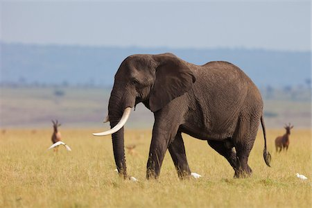 African Bush Elephant (Loxodonta africana) Bull in Savanna, Maasai Mara National Reserve, Kenya, Africa Stock Photo - Premium Royalty-Free, Code: 600-06669622