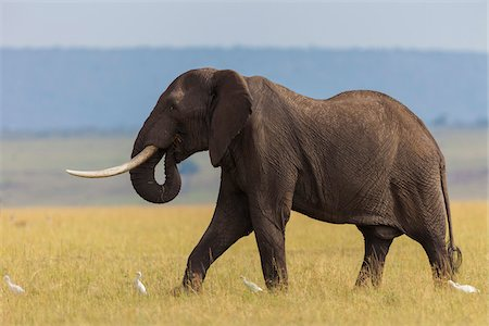 African Bush Elephant (Loxodonta africana) Bull in Savanna, Maasai Mara National Reserve, Kenya, Africa Stock Photo - Premium Royalty-Free, Code: 600-06669623