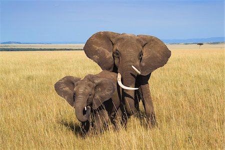 African Bush Elephant (Loxodonta africana) Mother with Calf, Maasai Mara National Reserve, Kenya, Africa Stock Photo - Premium Royalty-Free, Code: 600-06669637