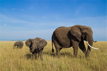 African Bush Elephant (Loxodonta africana) Mother with Calf, Maasai Mara National Reserve, Kenya, Africa Stock Photo - Premium Royalty-Free, Code: 600-06669640