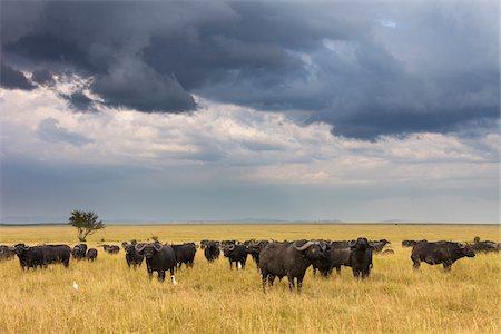 Cape Buffalo (Syncerus caffer) Herd in Savanna, Maasai Mara National Reserve, Kenya, Africa Stock Photo - Premium Royalty-Free, Code: 600-06674855