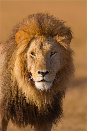 pictures cats - Portrait of a big male lion (Panthera leo), Maasai Mara National Reserve, Kenya Stock Photo - Premium Royalty-Free, Code: 600-06671727