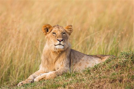 pictures cats - Young male lion (Panthera leo), Maasai Mara National Reserve, Kenya Stock Photo - Premium Royalty-Free, Code: 600-06671721
