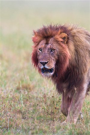 Male lion (Panthera leo) with blood on his head and mane after feeding, Maasai Mara National Reserve, Kenya Stock Photo - Premium Royalty-Free, Code: 600-06671734